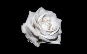 White Rose for Innocence